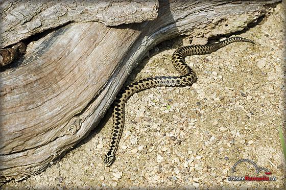 muscatura de vipere si serpi veninosi